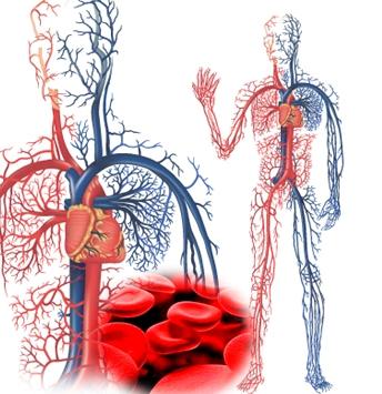 Fungsi Pembuluh Darah bagi Tubuh | Fungsi dan Info