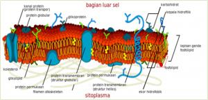 Fungsi Sel dan Struktur Kimiawinya