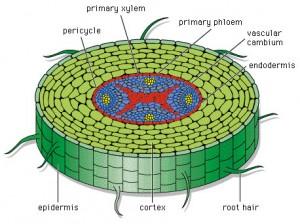 Fungsi batang pada tumbuhan