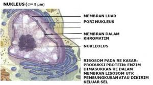Fungsi dan Struktur Nukleus