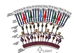 Struktur Anatomi Retina Mata