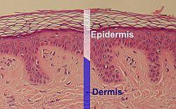 Fungsi Epidermis Tumbuhan