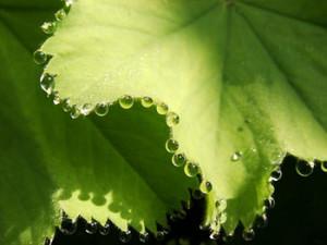 Pengertian Proses Gutasi pada Tumbuhan