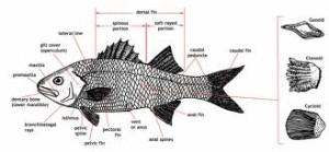 Fungsi Sirip Pada Ikan