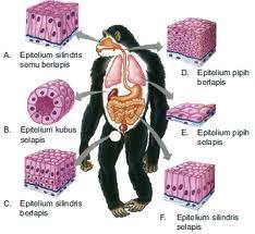 Struktur dan Fungsi Jaringan Otot Pada Hewan