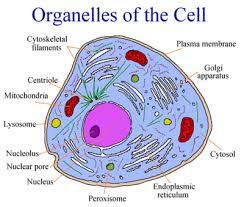 Fungsi Organel Sel dan Pengertiannya