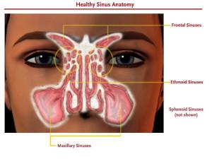 Definisi dan Fungsi Sinus pada Manusia