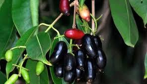 Manfaat buah Juwet